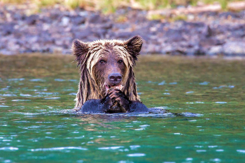 Grizzli dans l'eau