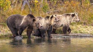 Trois Grizzlis